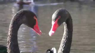 Black Swan (Fuji Kachoen Garden Park, Shizuoka, Japan) November 25, 2018