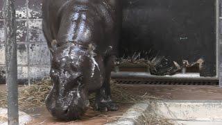 コビトカバ の『エボニー』 (上野動物園) 2020年9月11日