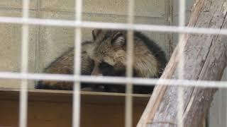 ホンドタヌキ (姫路市立動物園) 2019年2月16日