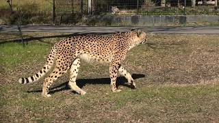Cheetah (ADVENTURE WORLD, Wakayama, Japan) January 18, 2020