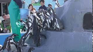 Humboldt penguin (Minami-Chita Beach Land, Aichi, Japan) November 19, 2017