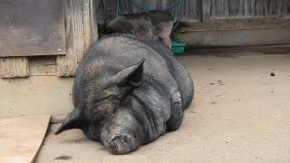 Pig (NARITA DREAM FARM, Chiba, Japan) September 12, 2020