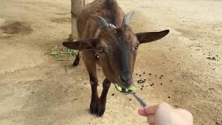 動物ふれあい広場のヤギに餌やり (みさき公園) 2017年8月26日