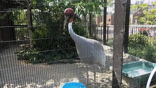Indian sarus crane (Kyoto City Zoo, Kyoto, Japan) September 1, 2020