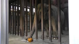アジアゾウ にハロウィンかぼちゃのプレゼント (王子動物園) 2019年10月27日