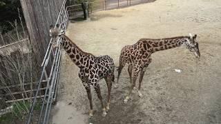 マサイキリン (宮崎市フェニックス自然動物園) 2019年12月9日