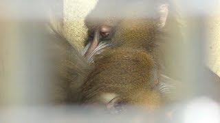 マンドリル の『リル』と『ルル』 (大牟田市動物園) 2019年4月19日