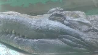 マレーガビアル (愛媛県立とべ動物園) 2018年3月25日