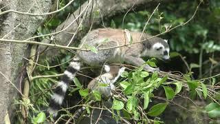ワオキツネザル の赤ちゃん (鹿児島市 平川動物公園) 2019年4月17日