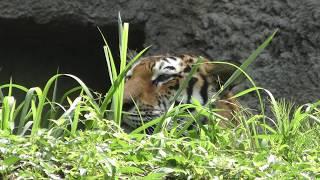 アムールトラ の『ローラ』 (浜松市動物園) 2018年7月1日