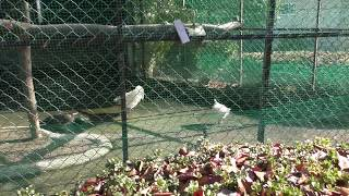 インドクジャク と ウコッケイ (日立市かみね動物園) 2018年12月4日
