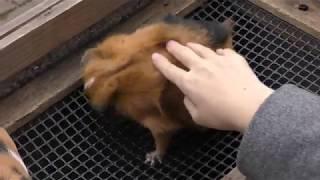 テンジクネズミのふれあいタイム (大宮公園小動物園) 2018年2月4日