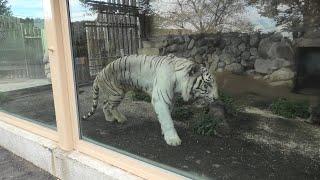 ホワイトタイガー の『スカイ』 (東武動物公園) 2020年9月18日