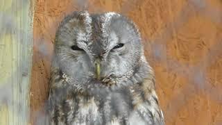 Tawny Owl (Saitama Children's Zoo, Saitama, Japan) February 3, 2018