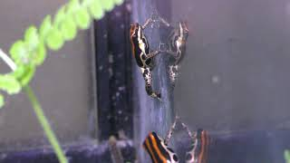ウアカリヤドクガエル (体感型カエル館 kawazoo【カワズー】) 2019年9月30日