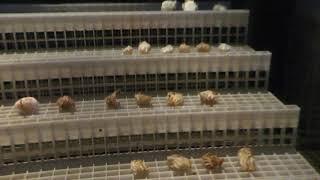 オウムガイの卵 (鳥羽水族館) 2018年1月1日