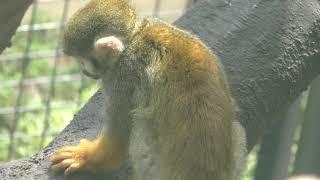 Common Squirrel Monkey (Oji Zoo, Hyogo, Japan) September 16, 2018