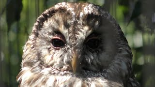 Owls at Bird street (Ishikawa Zoo, Ishikawa, Japan) August 18, 2019