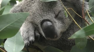 Koala (Saitama Children's Zoo, Saitama, Japan) September 15, 2020