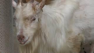シバヤギ Shiba goat