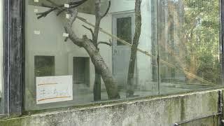 アライグマ (沖縄こどもの国) 2019年5月12日