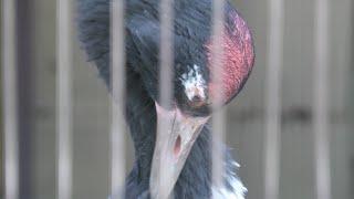 オグロヅル (上野動物園) 2020年9月11日