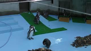 フンボルトペンギン (弥生いこいの広場) 2019年8月7日