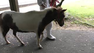 アメリカンミニチュアホース の『アイ』 (高岡市古城公園動物園) 2019年8月16日