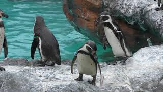Humboldt penguin Feeding time (Aqua world Oarai, Ibaraki, Japan) October 21, 2017