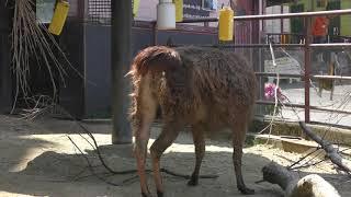 ラマ の『モモ』と『かすみ』 (大牟田市動物園) 2019年4月19日