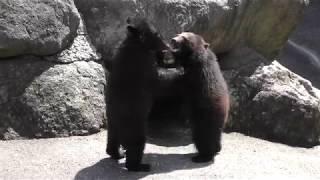 生後1歳の子熊たち (奥飛騨クマ牧場) 2018年4月21日
