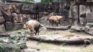 ゴールデンターキン (多摩動物公園) 2017年8月27日