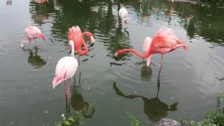 ベニイロフラミンゴとヨーロッパフラミンゴの三つ巴 (東武動物公園) 2017年7月15日
