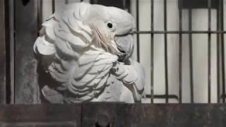 タイハクオウム (大宮公園小動物園) 2018年2月4日