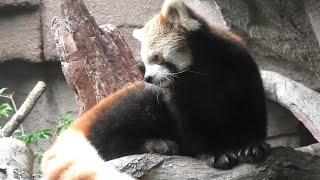 レッサーパンダ (那須どうぶつ王国) 2020年9月14日