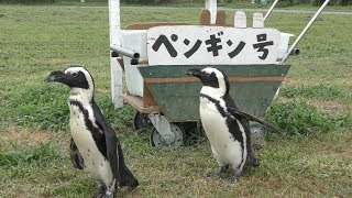 ペンギン散歩 (岩手サファリパーク) 2019年8月12日