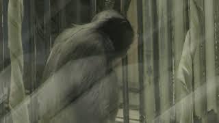 オランウータン舎の ボルネオテナガザル (東山動植物園) 2019年1月22日