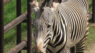 グレビーシマウマ (千葉市動物公園) 2020年9月17日