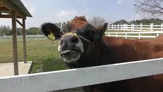 ジャージー牛 (滋賀農業公園ブルーメの丘) 2019年10月31日
