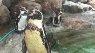 Humboldt penguin (Toyohashi Zoo and Botanical Park, Aichi, Japan) August 5, 2017