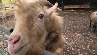 ヤギ と ヒツジ に餌やり体験 (大山トムソーヤ牧場) 2019年11月29日