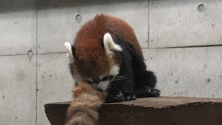 Lesser panda (Saitama Children's Zoo, Saitama, Japan) September 15, 2020