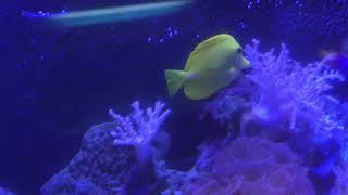 サンゴ水槽 (北里アクアリウムラボ ~ 北里大学海洋生命科学部ミニ水族館) 2018年11月30日