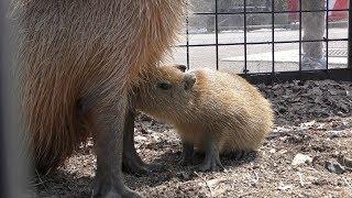 カピバラ の赤ちゃん『ツバキ』 (盛岡市動物公園) 2019年4月12日