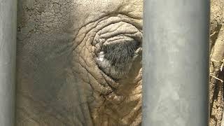 アフリカゾウ の『パトラ』 (しろとり動物園) 2019年3月1日