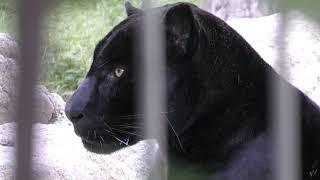 ジャガー の『アトス』 (王子動物園) 2018年9月16日