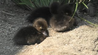 Tufted duck Chick (Kyoto City Zoo, Kyoto, Japan) September 1, 2020