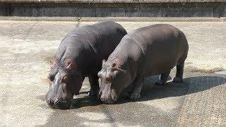 カバ の『モモコ』と『ソラ』 (熊本市動植物園) 2019年4月18日