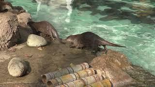 4匹の コツメカワウソ (千葉市動物公園) 2018年10月20日