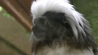 Cotton-head tamarin